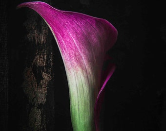 Calla Lily, Flower Photo, Flower Photography, Photo Artistry, Floral Photography, Floral Wall Art, Flower Decor, Floral Still Life