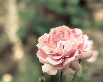 Vintage Rose Photograph - French Pink Rose - Provence, France - Côtes du Rhône - Floral Photograph - Wall Art Decor - Retro Rose Print