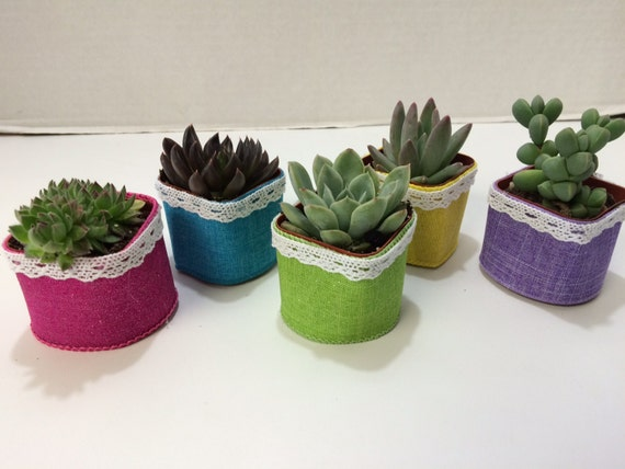 Pots with Glam Ribbon and White Lace. Succulent Plants.40  Gorgeous Favors with Succulent Plants