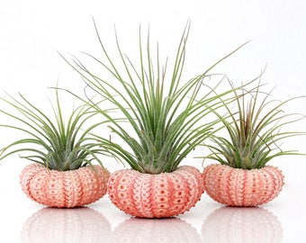 Air Plant KIT - Includes: 3 Tillandsia Live Air Plants + 3 Sea Urchin Shells + Gift Box * Genuine Sea Shell Planters. Hand Picked. Terrarium