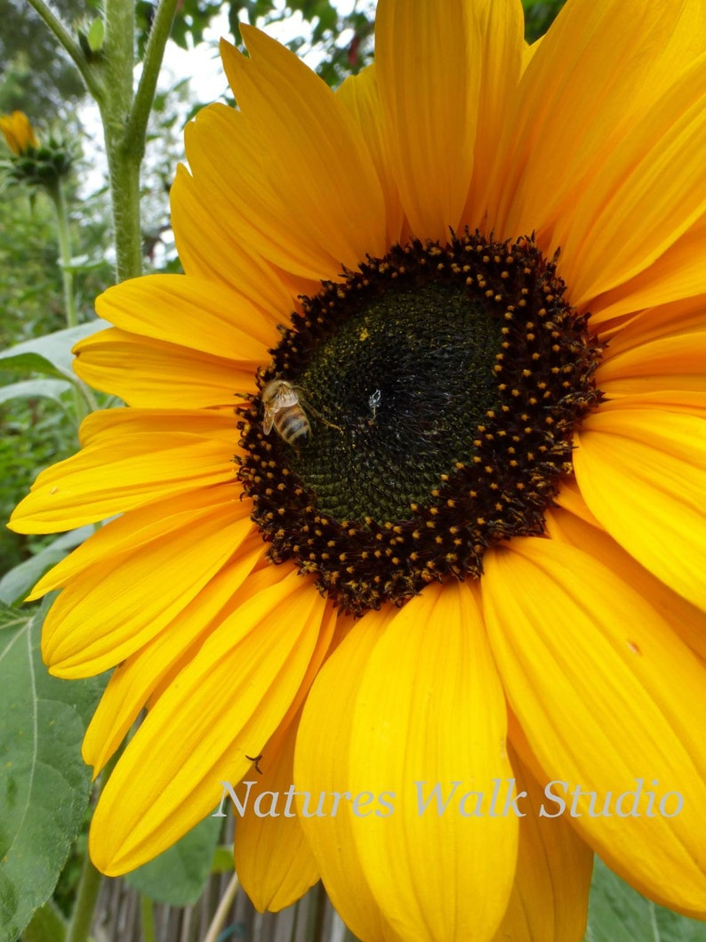 Summer Sunflower Pollinator Bee Gold and Brown Garden Themed image 0