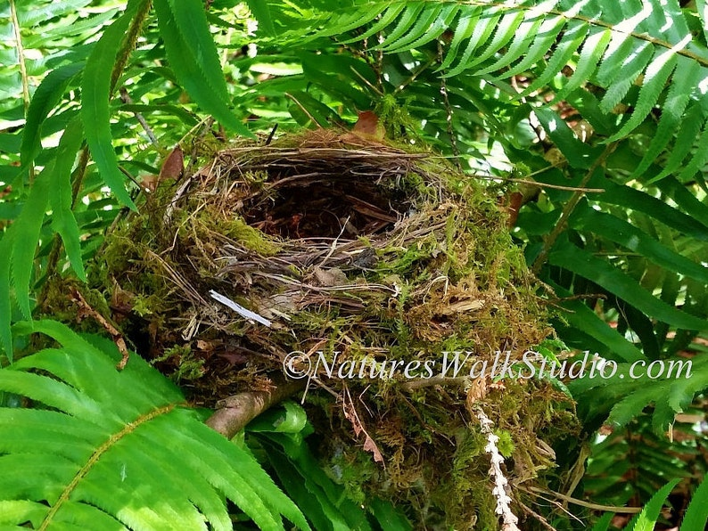Bird Nest Among Ferns Along The Trail In Plain Sight Nature image 0