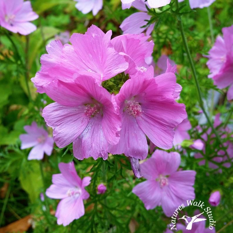 Pink Mallow Blooming Summer Garden Flowers Nature Photograph image 0