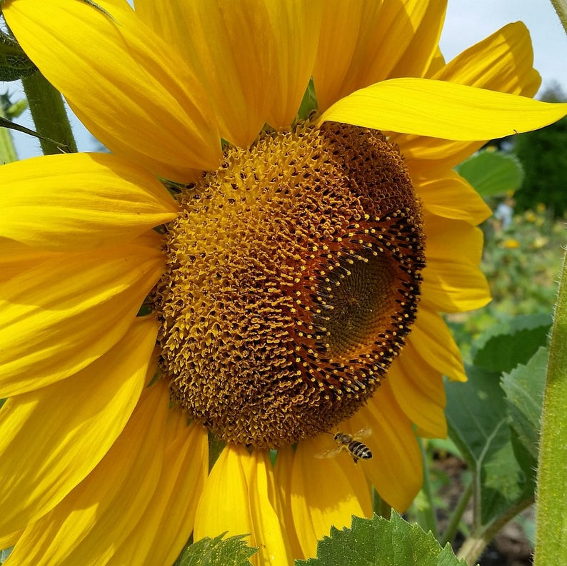 Summer Sunflower and Flying Honey Bee Save the Bees Nature image 0