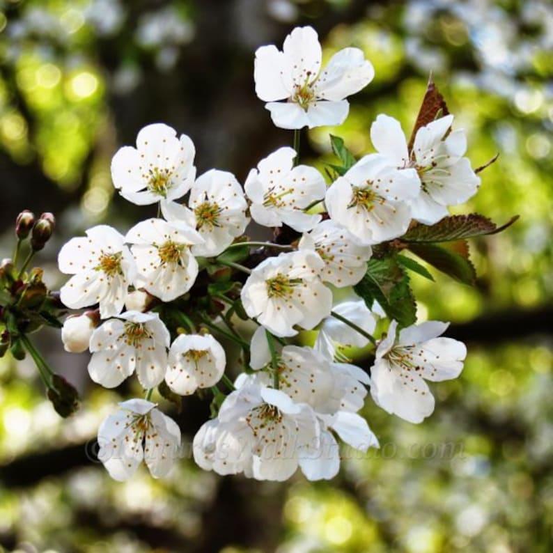 White Cherry Blossoms Wild Flowering Fruit Trees Spring image 0
