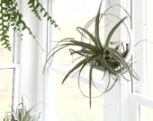 Airplant Ring Cradle Sling Hanging Planter Display for Air Plant MADE TO ORDER airplantring airplantdisplay