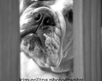 English Bulldog-Animal PhotographyPets-Animal Lover-Bulldog-Black and White-Fine Art Photography