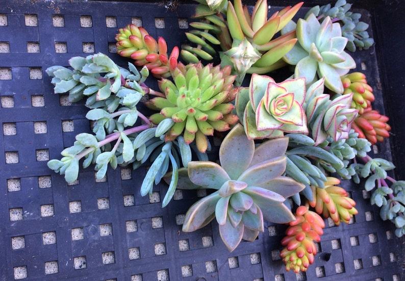 50 Succulent Cuttings Succulent Wedding Succulent Wedding Favors Succulent Wedding Favors SUCCULENT PLANTS Terrarium Succulents