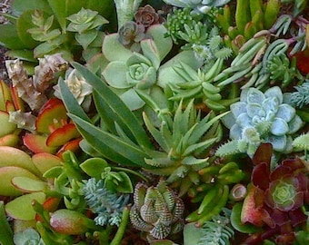 Free Shipping, 125 Succulent Wedding Favors, Succulent plant cuttings, Colorful succulent cuttings
