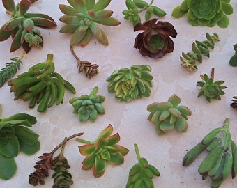 FREE SHIPPING, 125 Succulent Cuttings, Succulent plant