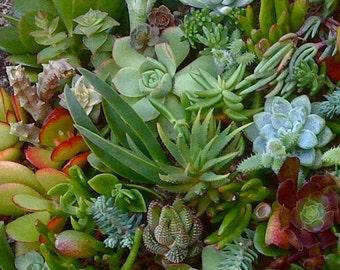 35 Succulent Cuttings, Succulent plant, Clippings, Bulk succulent