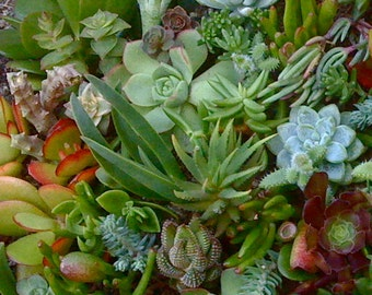 35 SUCCULENT CUTTINGS, Wedding Favors, Vertical Garden, Terrarium, Wreath.