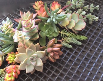 Free Shipping, 28 SUCCULENT CUTTINGS, Wedding favors, Bridal bouquets, Centerpiece, Mothers Day Gift