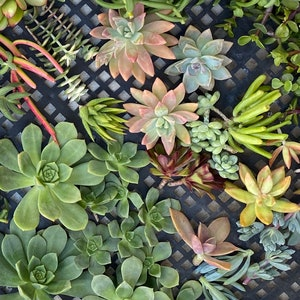 125 SUCCULENT CUTTINGS Succulent plant Wholesale Clippings Free Shipping