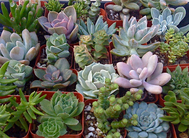 50 SUCCULENT PLANTS, Wedding Favors, Succulent wedding favor, Wholesale