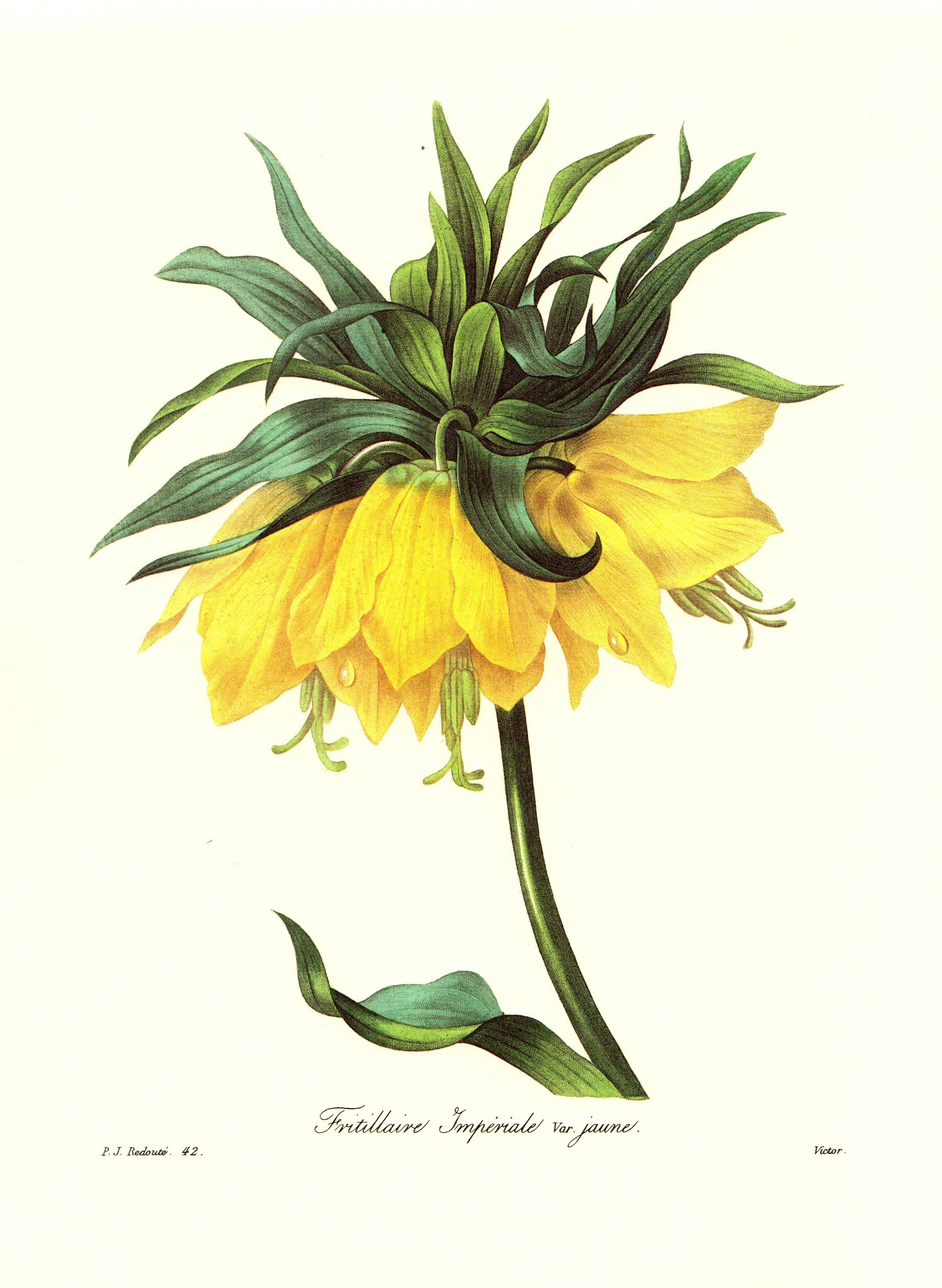 Vintage Crown Imperial Botanical Print Redoute Yellow Flower Etsy