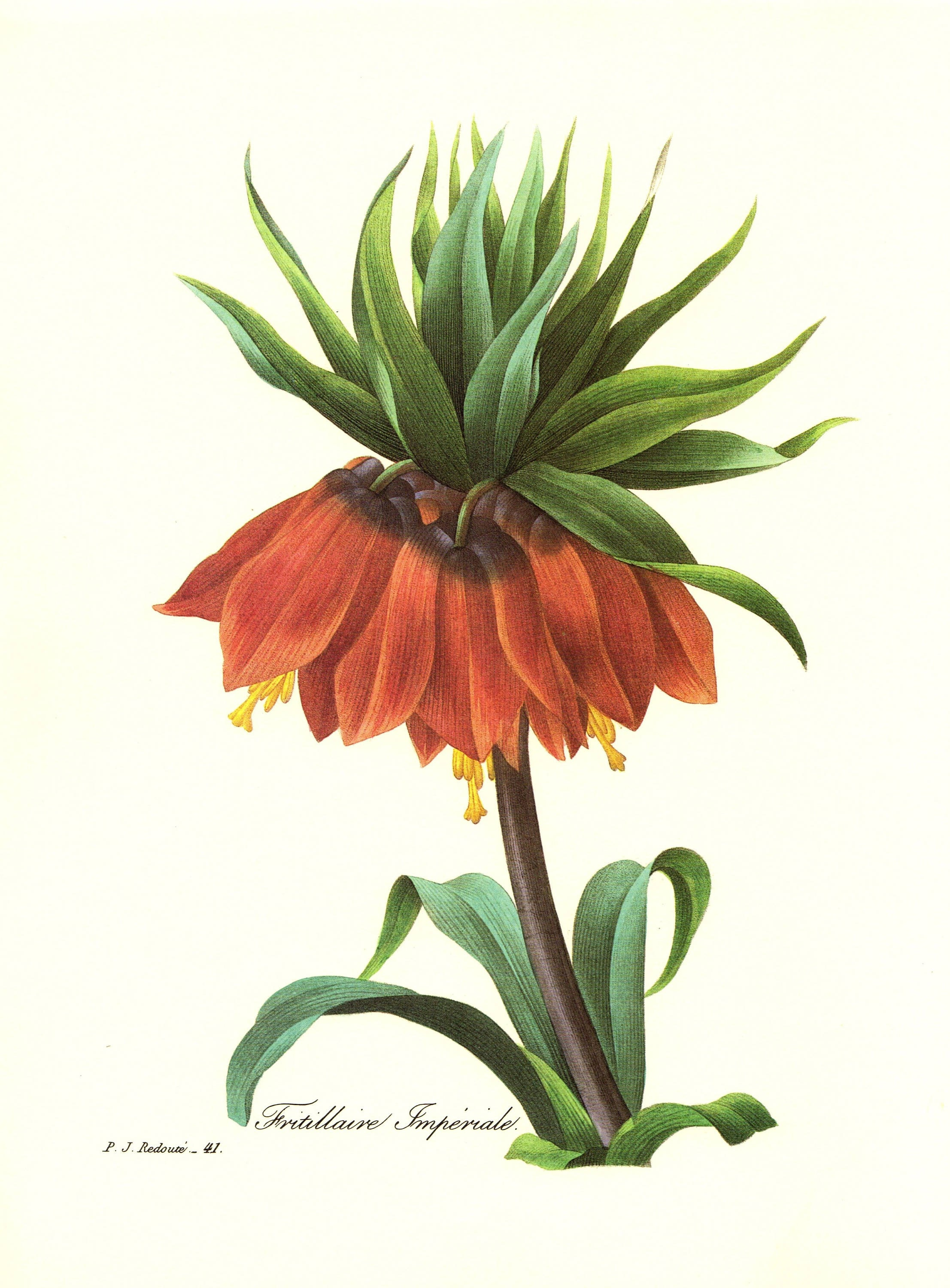Vintage Crown Imperial Botanical Print Redoute Red Flower Art Etsy