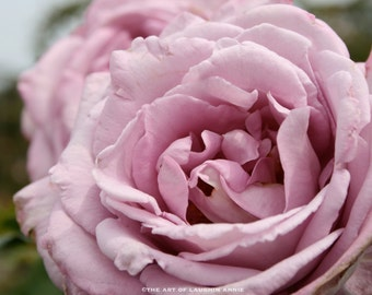 Pale Mauve Lilac Rose professional quality 8x10 photographic print