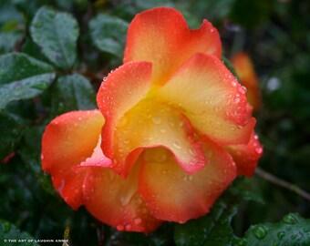 Hybrid Tea Rose Fire Color Professional Botanical Photography 8x10 Matte Print