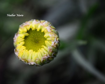 Opening of a Daisy, fine art flower photography