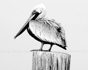 Pelican Photograph