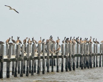 Pelicans Perched Photograph