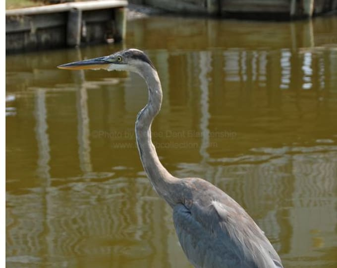 Blue Heron Photograph