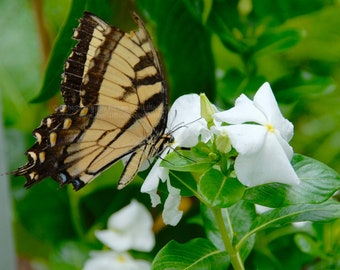 Butterfly Among the Vinca Photograph
