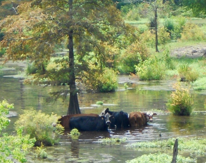 Cows Cooling in a Stream Photograph