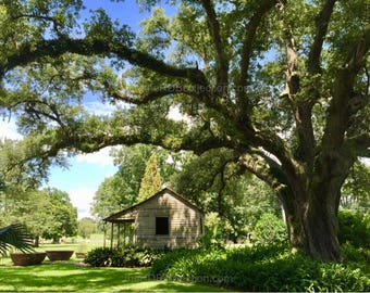 Under the Plantation's Majestic Oak Photograph