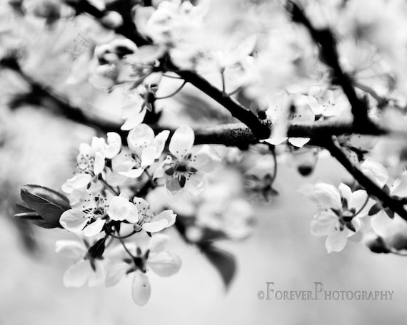 Black And White Cherry Blossoms Gift Fine Art Photography