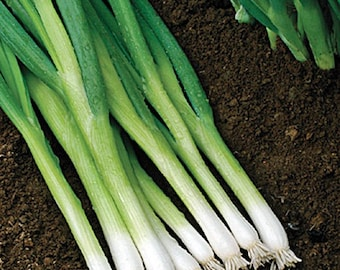 Evergreen Hardy White Bunching Heirloom Onion Seeds Non-GMO Naturally Grown Open Pollinated Gardening