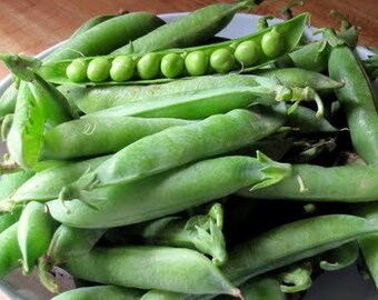 Perfection Pea Heirloom Garden Seed Non-GMO 150+ Seeds Heavy Yields Extremely Prolific and Early Open Pollinated Gardening