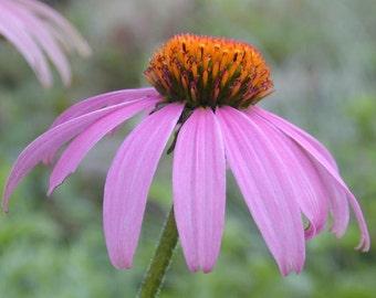 Echinacea Purpurea Heirloom Medicinal Herb Seeds Non-GMO Naturally Grown Open Pollinated Gardening