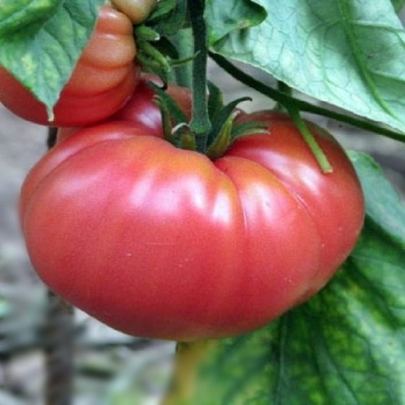 German Johnson Tomato Garden Seeds 30+ Seeds Rare Grown To Organic  Standards Open Pollinated Heirloom Gardening