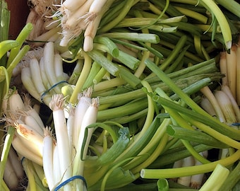 White Lisbon Bunching Heirloom Onion Seeds Non-GMO Naturally Grown Open Pollinated Gardening