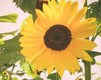 Sunflower Photograph -  Floral - Yellow Flower - Nature - Landscape - Home Decor - Wall Art