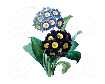 PRIMULA Instant Download Digital Download, spring primrose flowers wedding clipart Redoute 230