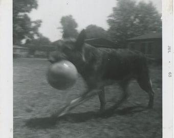 "Vintage Snapshot Photo: ""Bruno"" 1963 [83660]"