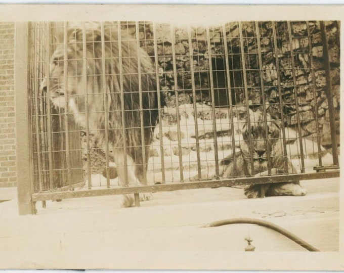 Vintage Snapshot Photo: Lions in Cage [812756]