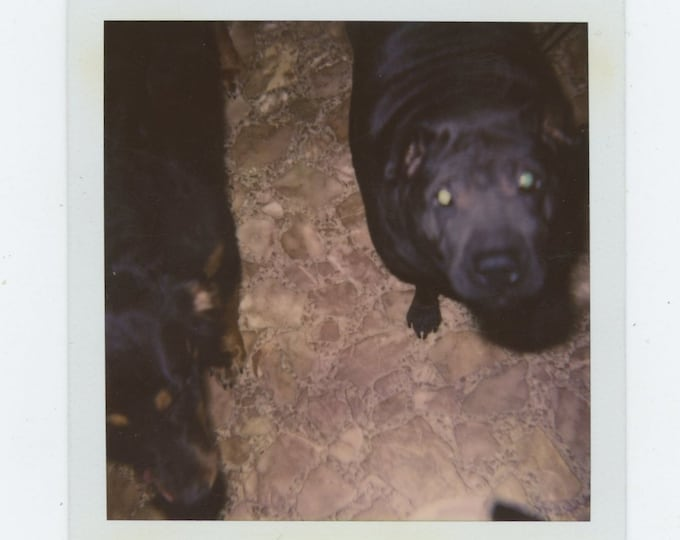 Vintage Polaroid SX-70 Snapshot Photo: Dogs (783656)