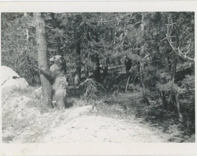 Bear Hugging Tree: Vintage Snapshot Photo (88713)