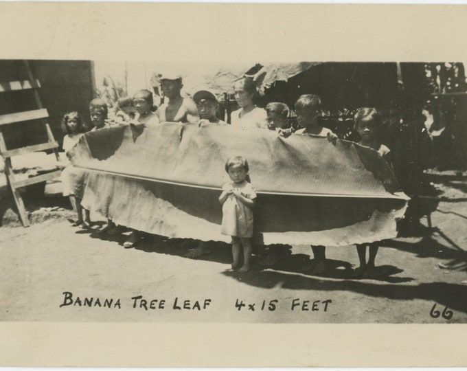 "Vintage Snapshot Photo: ""Banana Tree Leaf, 4 x 15 ft."" [86683]"