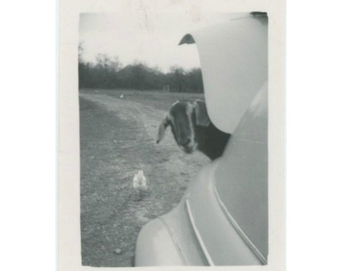 Vintage Snapshot Mini-Photo: Goat & Chicken [85675]