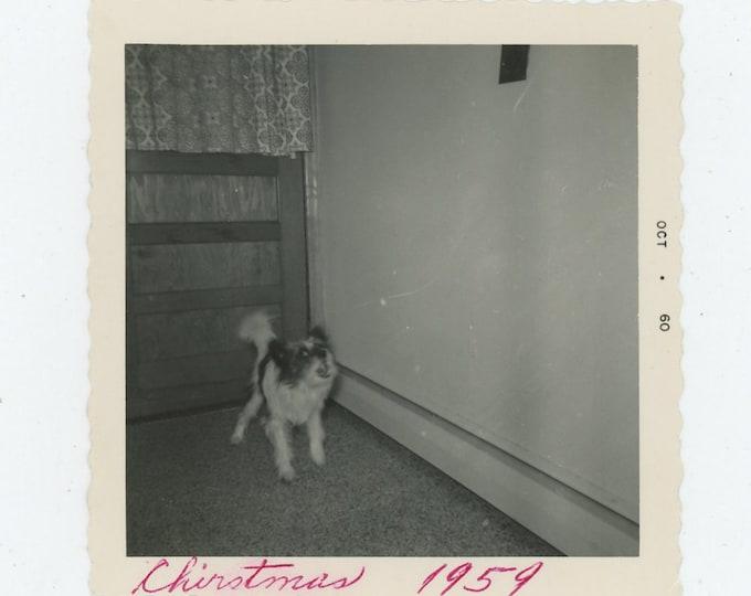 Vintage Snapshot Photo: Barking Dog, Christmas 1959 (88712)