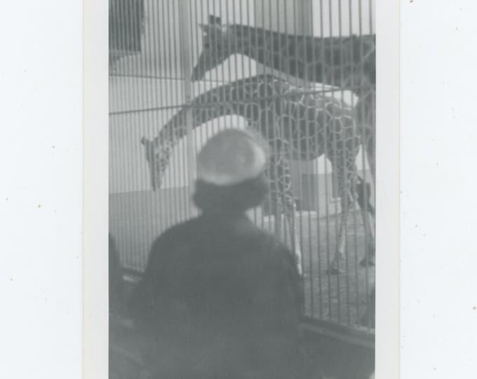 Vintage Snapshot Photo: Giraffe House, c1950s [88719]