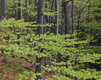 Spring Forest Fine Art Photography , Nature photography , Home Decor , Wall Art - The beauty of spring , 8 X 12