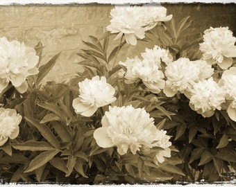 Peony Fine Art Photography , Flower Photo , Vintage Photo Style , 4 X 6
