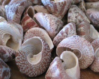 Red Striped Trochus Seashells (15) - Shells - Seashell Supply  - Craft Seashells - Coastal Home Decor