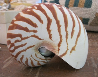 Natural Nautilus Shell - Large Nautilus - Coastal Home Decor - Seashells - Beach Wedding - Seashell Supply